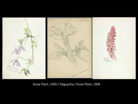 Embedded thumbnail for Virtual Tour: Margaret Armstrong's Botanical Watercolors at the Met Museum